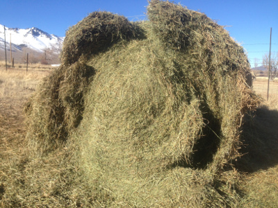 Fermented bale eaten by sheep