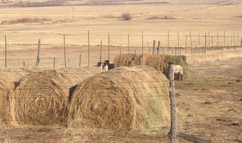 Sheep eating fermented alfalfa